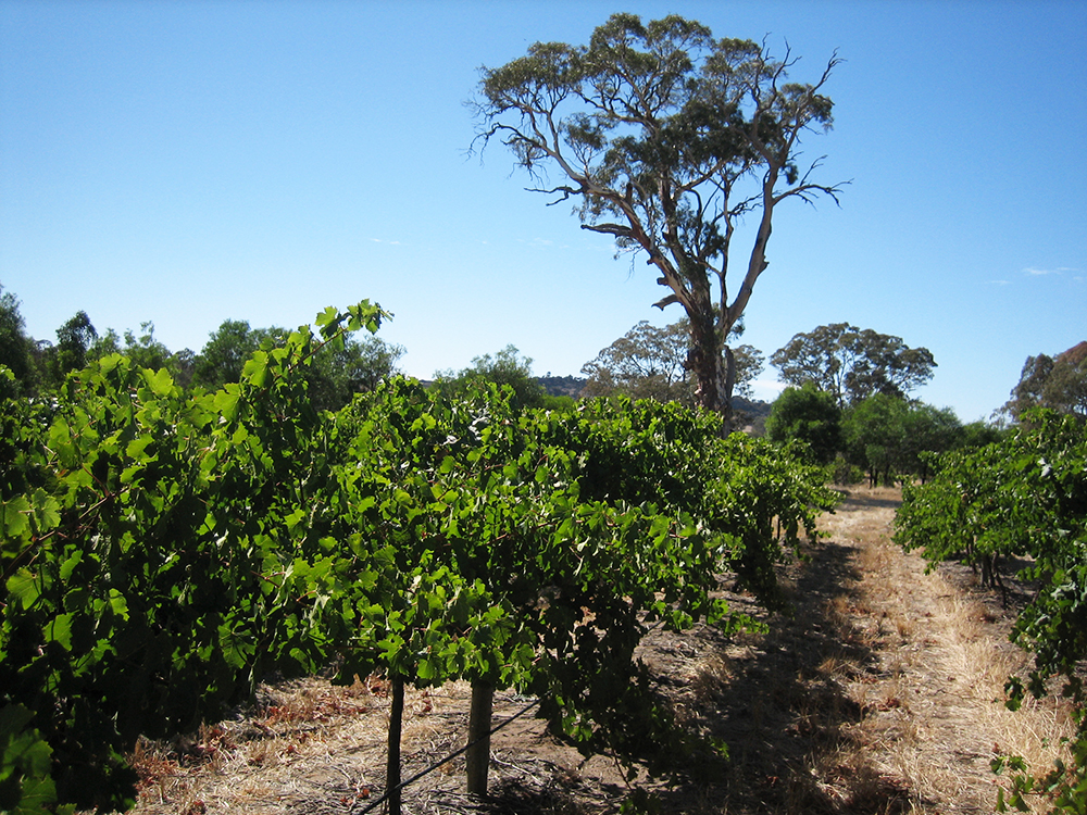 Rileys of Eden Valley Vinyard Planted